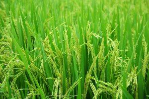 アトピーアレルギーに優しいお米 ゆきひかり